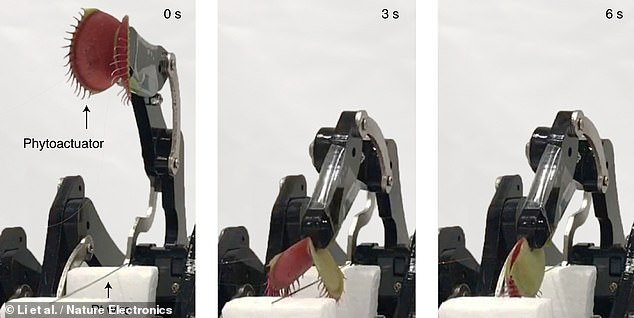 A nightmarish robot with Venus flytraps for hands that can trap objects in its jaw-like leaves — and then pick them up — has been developed by scientists. Pictured, the bot grabs a wire