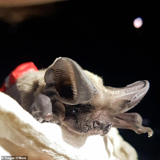 Scientists already knew bats could reach such lofty heights, but until this new study by Southeastern Louisiana University they didn't know how they soared so far up